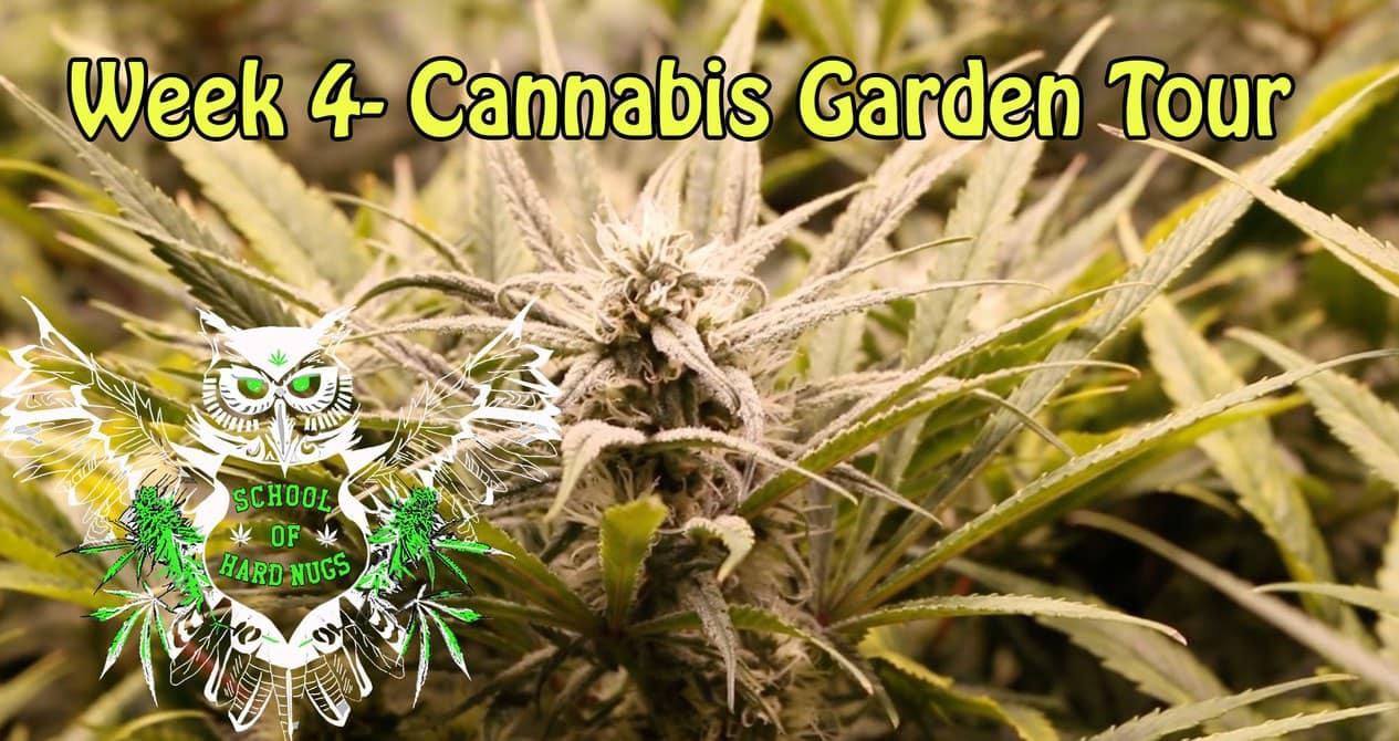 Cannabis Garden Tour Week 4 Flower Nutrient Burn Cannabis
