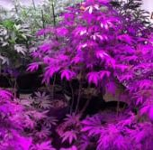 LED Cannabis Garden Tour