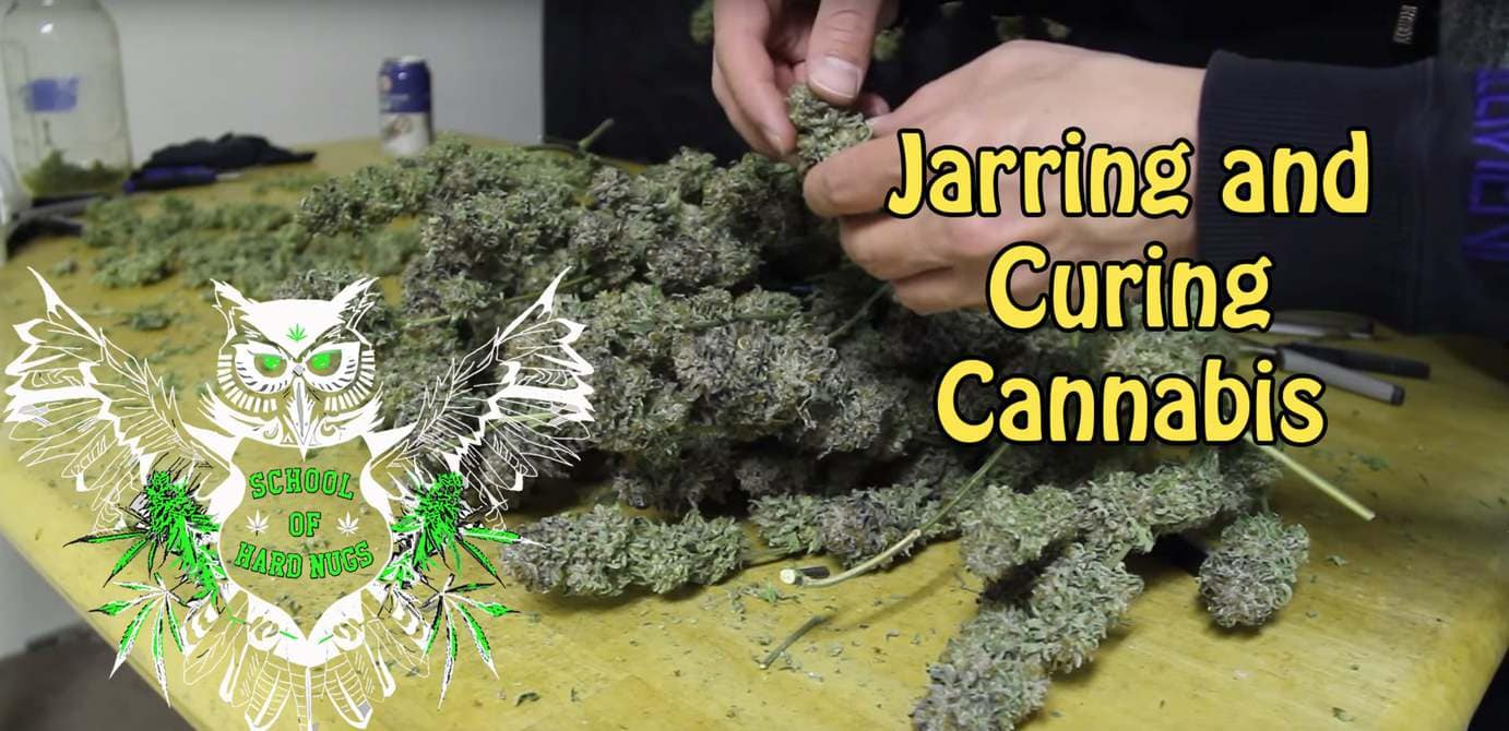 Jarring and Curing Cannabis