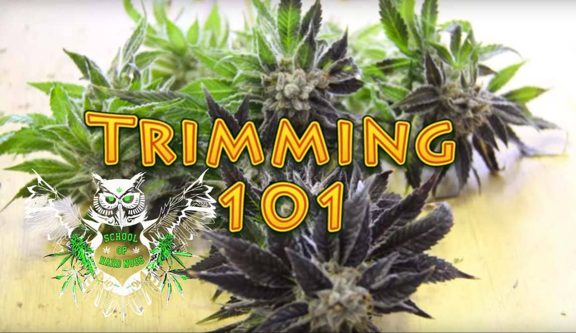 Wet trimming cannabis